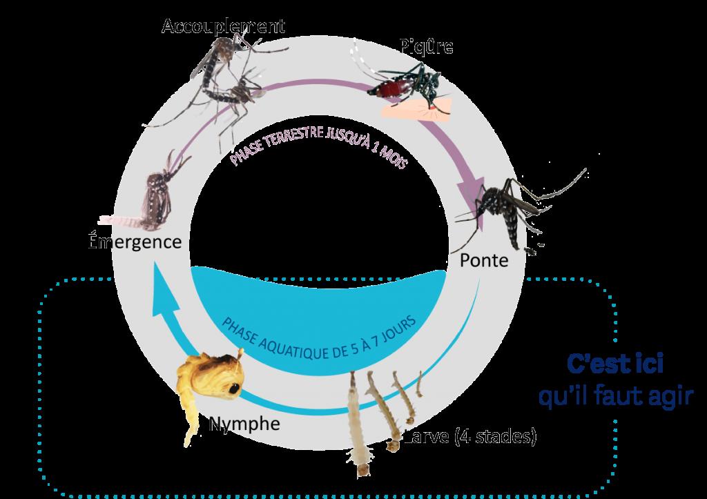 Schéma du cycle de vie des moustiques : ponte, larve, nymphe, émergence, adulte