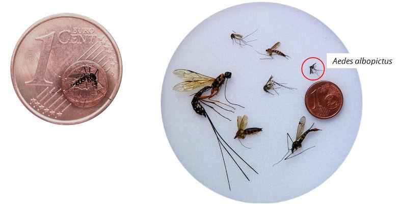 Photo d'une pièce d'un centime, avec un moustique tigre à l'échelle